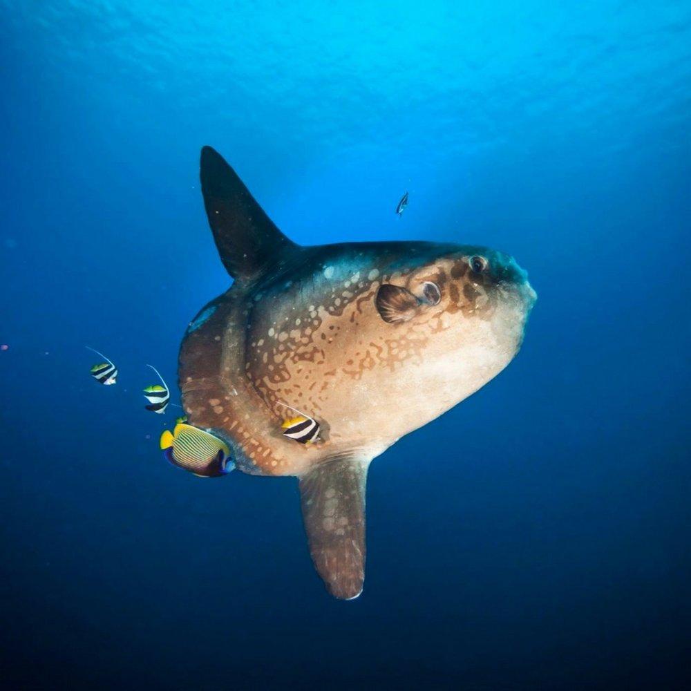 Diving Mola Mola, PADI Oceanic Sunfish, moonfish in Bali