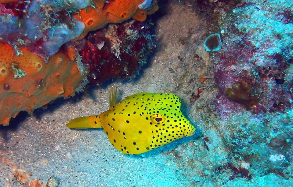 Yellow Box Fish.jpg