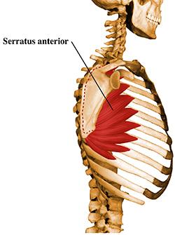 serratus_anterior_muscle.jpg