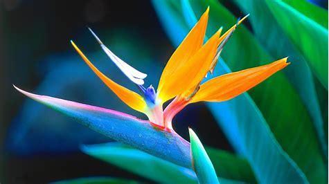 Strelitzia Plant Bird Of Paradise.jpg