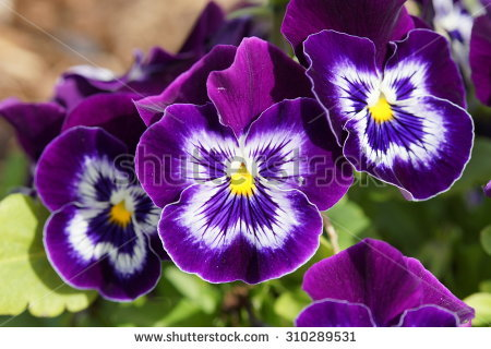 stock-photo-purple-viola-plant-macro-310289531.jpg