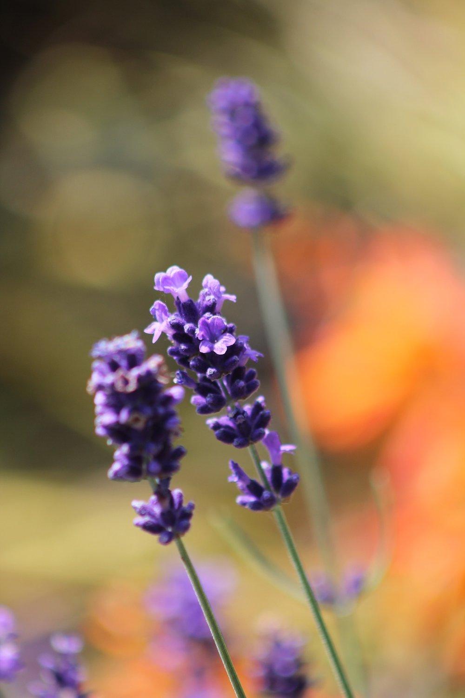 lavender-755737_1920.jpg
