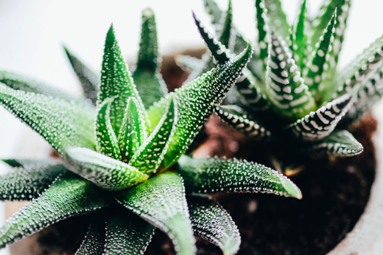 Haworthia (many cultivars) - photo @patirobins