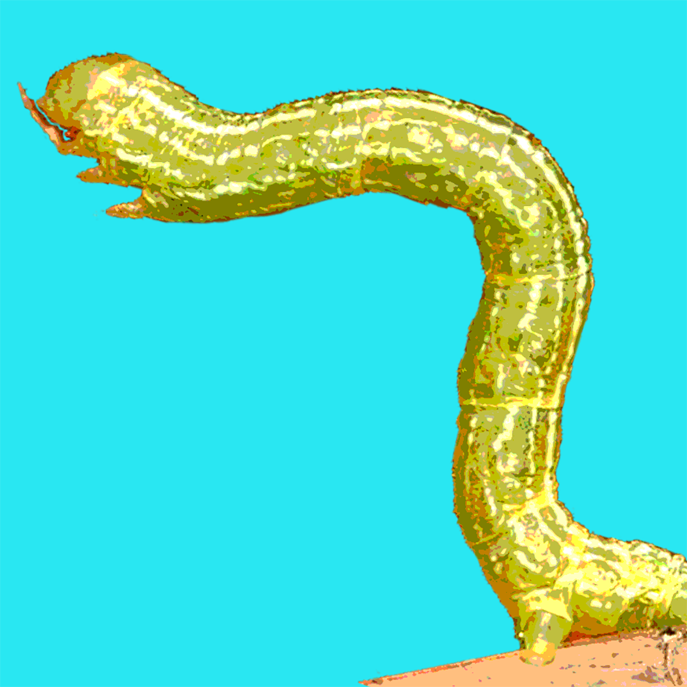 inchworm.side.png