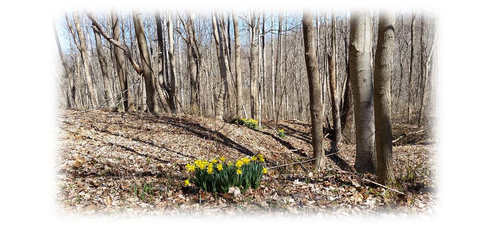 daffodils1.png