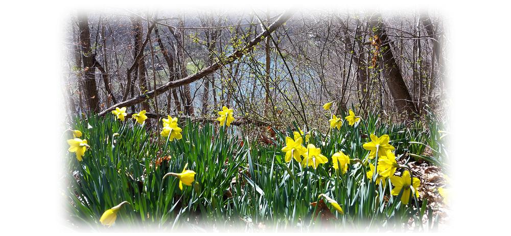 daffodils2.png