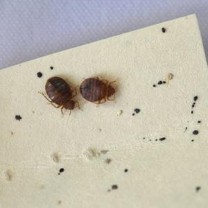 two-bed-bugs_2.jpg