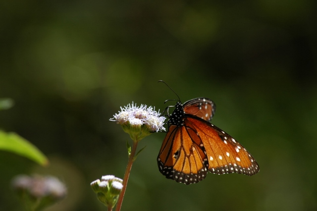 butterfly-perched-on-wildflower-horizontal-scott-pehrson-dreamstime-640x426