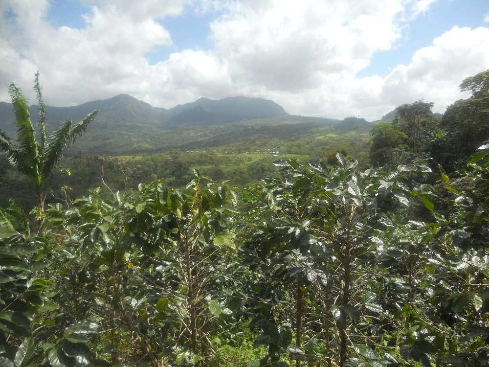 - MATURE COFFEE PLANTS AND VIEW OF THE SURROUNDING AREA