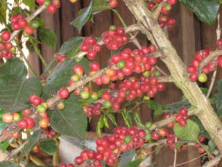 "RIPE ""CHERRIES""  COFFEE BEANS"