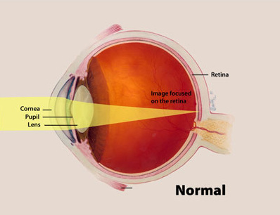 "As shown above, you ""see"" objects when light rays hit the back of the eyeball and excite the rod and cone cells embedded in the layers of the retina, which then send signals up to the visual processing part of your brain."
