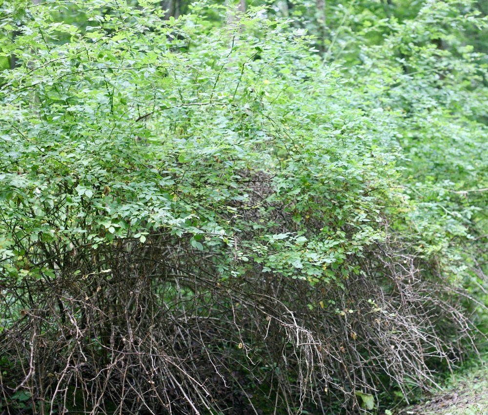 . . . and grows into a massive thicket!