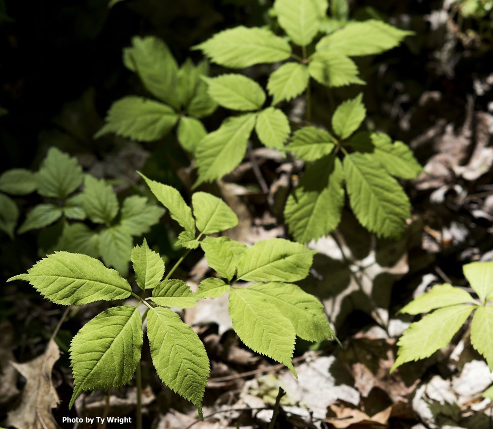 Ginseng in the Woods