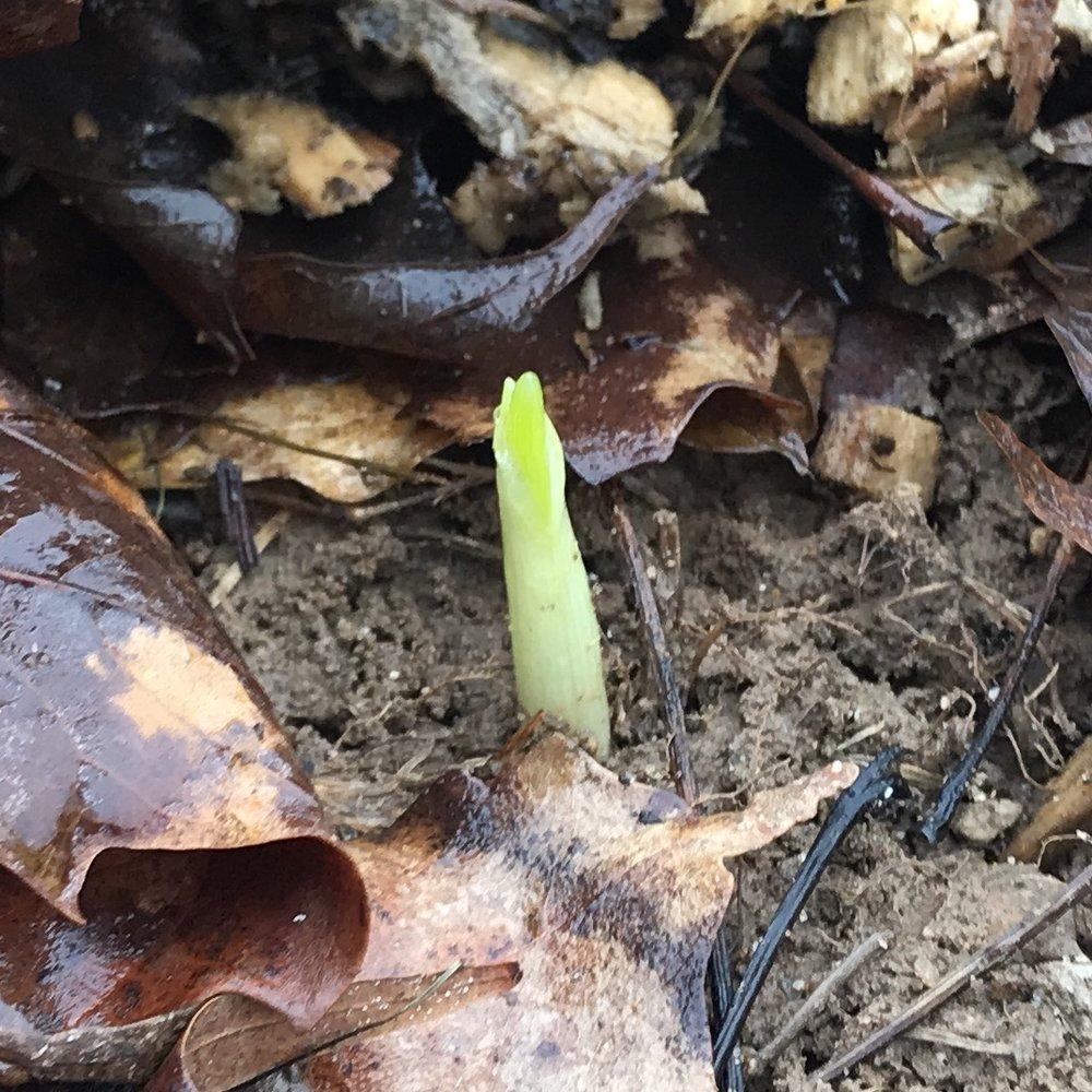 Garlic Sprout