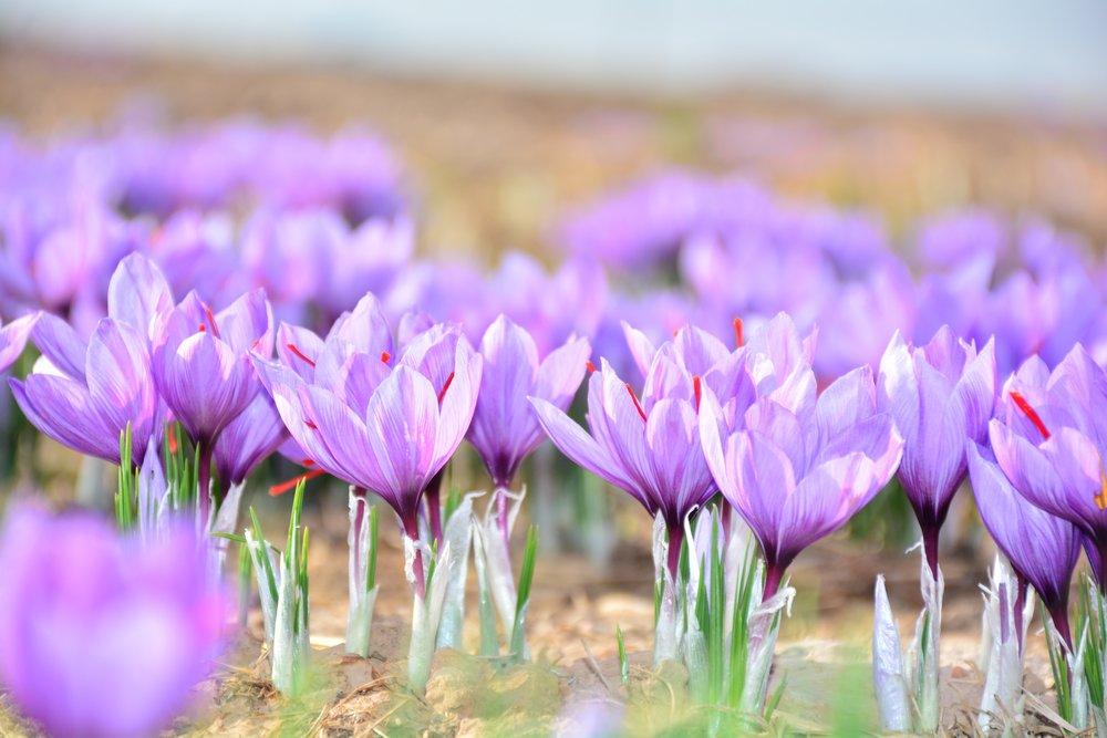 Breakout Market: Saffron -