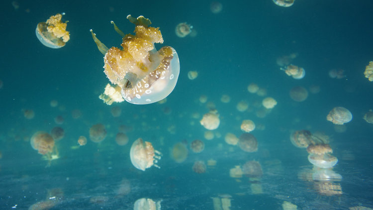 Evolution in Action: Jellyfish Lake
