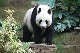 GIANT PANDA TRACKING - COMPLETED: HAVEN'T STARTED