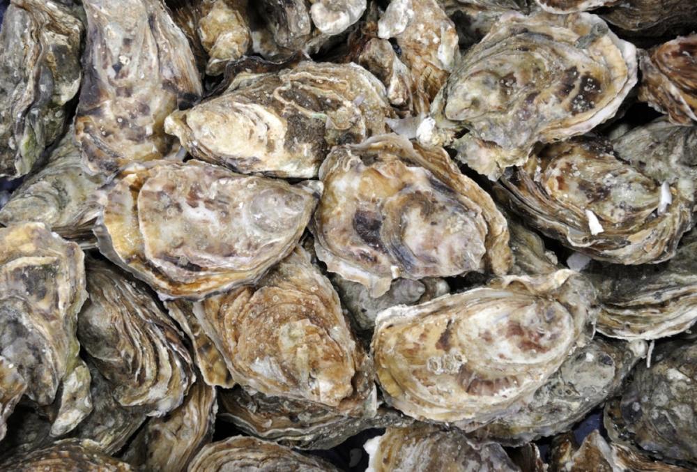 Oyster-bedbig.jpg