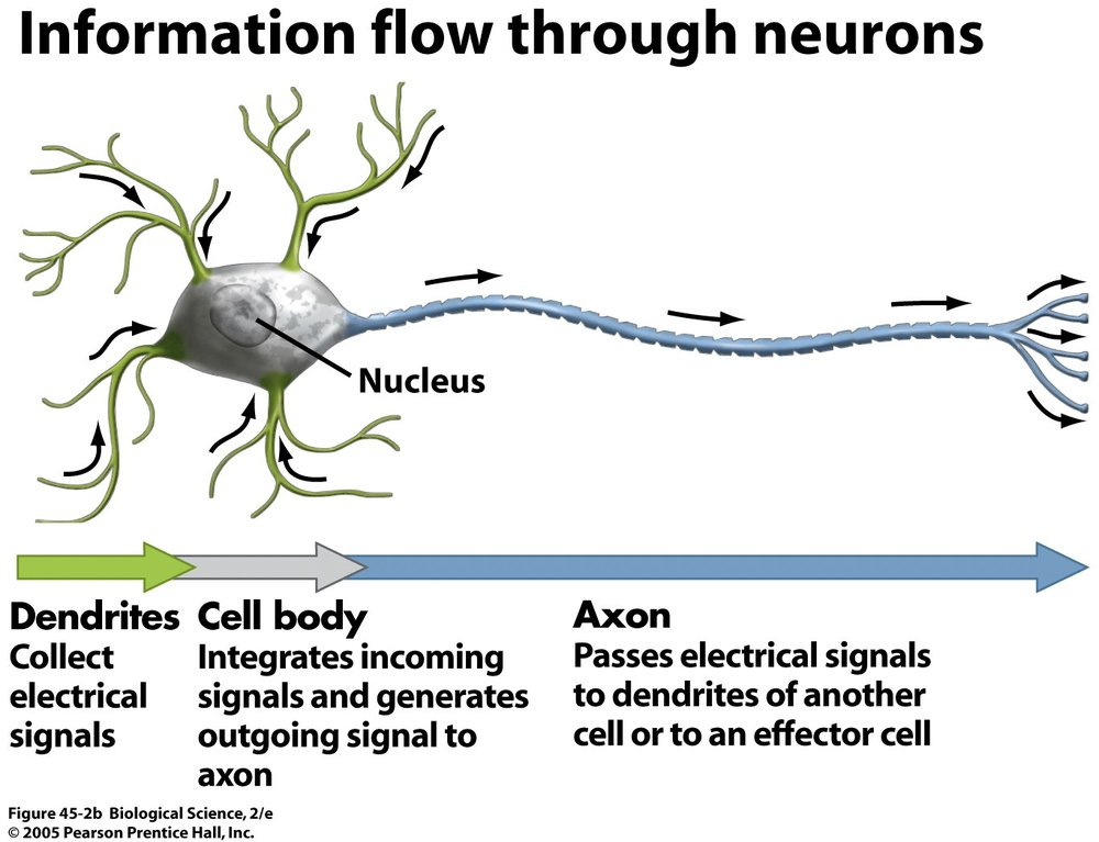 Dendrites are conductors of an electrical impulse 10