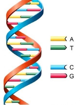 Figure 1. Double-stranded DNA is typically in the form of a double helix and is made up of a unique pattern of four nucleic bases (ATCG).https://s-media-cache-ak0.pinimg.com/236x/66/9d/b2/669db24d96259566dcb6d6cfea0ddc86.jpg