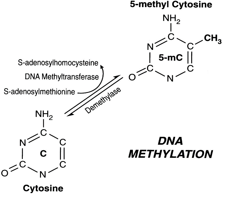 Figure 2 . Interconversion between cytosine and 5-methyl cytosine (Singal & Ginder, 1999).