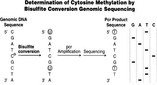 Figure 3.   Bisulfite conversion enables differential sequencing of methylated and unmethylated cytosine (Weisenberger, den Berg, Pan, Berman, & Laird, 2008).