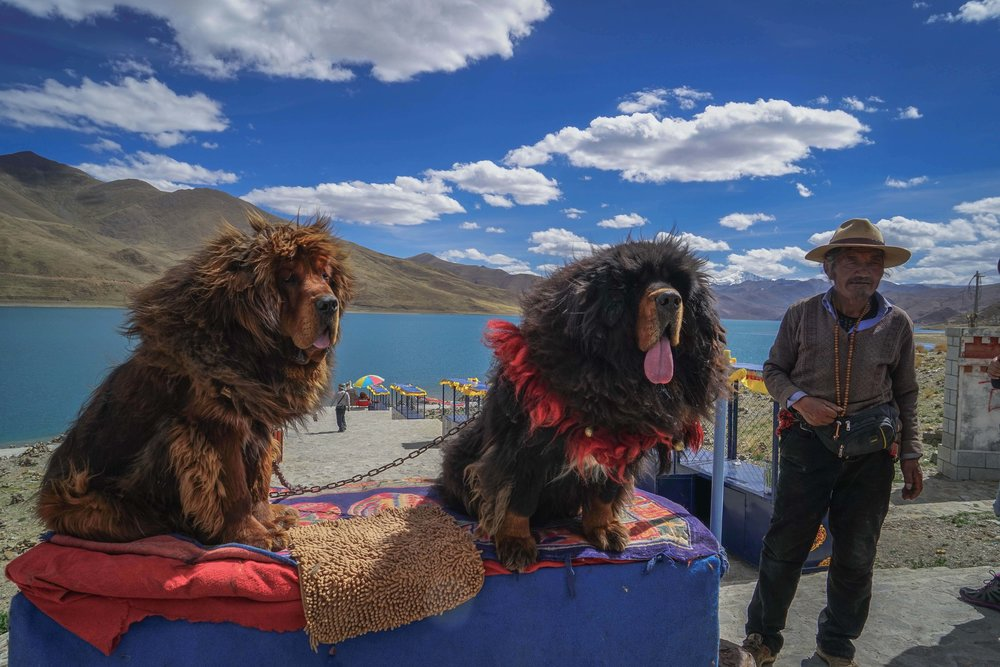 Yamdrok Lake and Tibetan Mastiff Dog