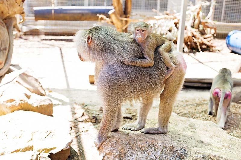 baboons2.jpg