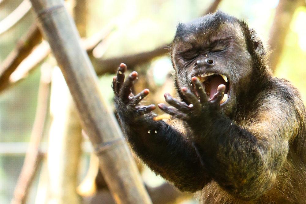 AE1R0939-2-Capuchin.jpg