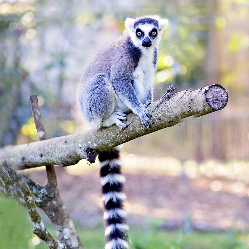 ringtailed-lemur1.jpg