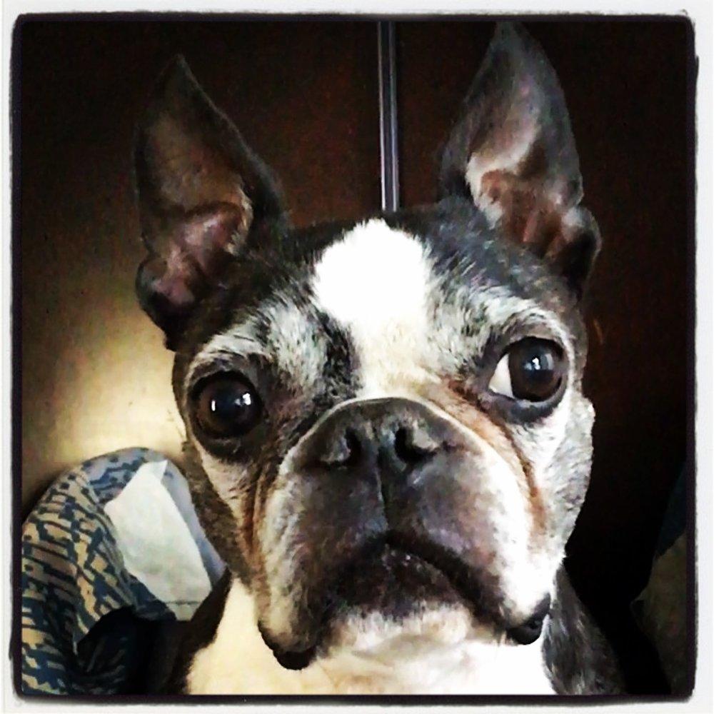 boston-terrier-congestive-heart-failure