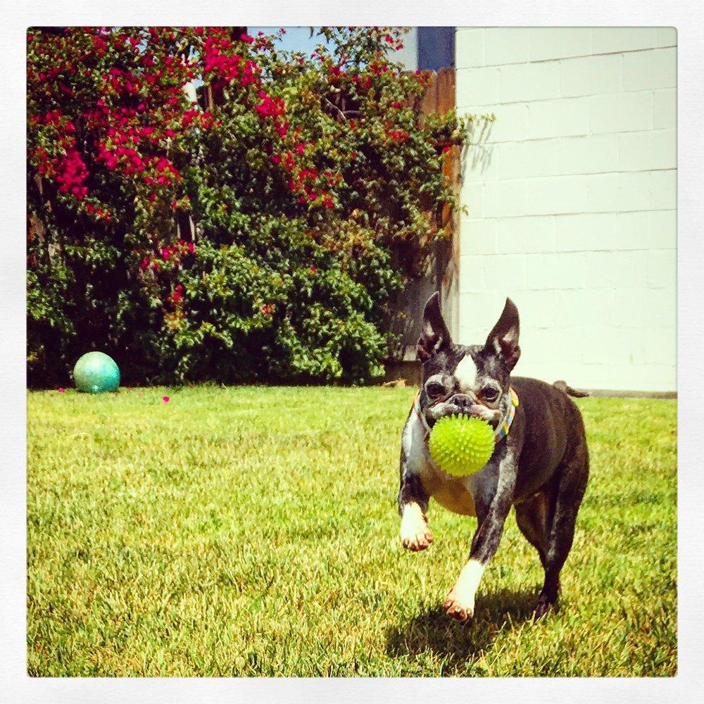 gunner-boson-terrier-heart-failure