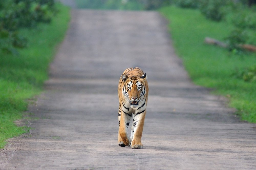 An Indian Tiger Photographed by © Yuwaraj Gurjar Photography