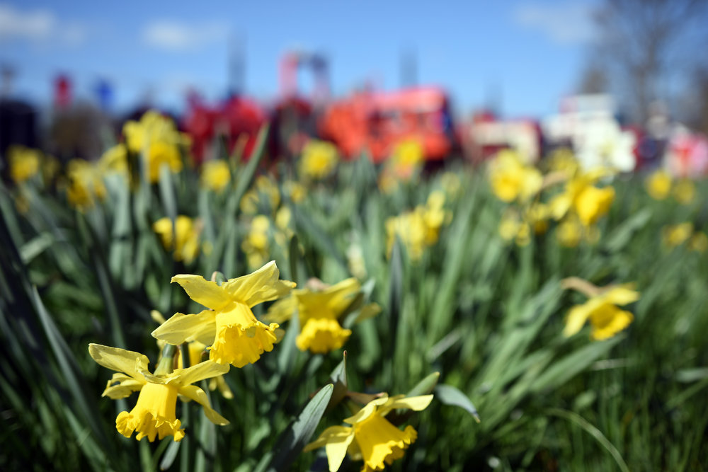 tractors and daffs.jpg