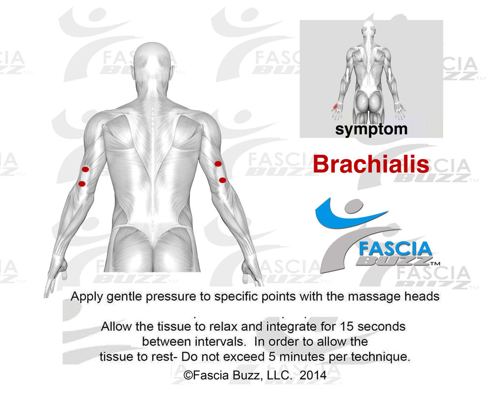 brachialis.jpg