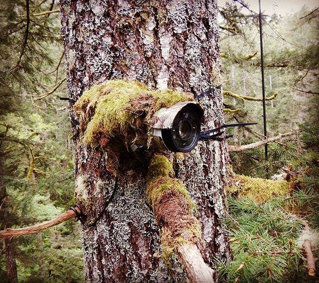 With 24 hour video surveillance on custom designed Axis cameras, we are getting some amazing new information on #marbledmurrelet nesting behavior and predators! Our staff is currently reviewing the 2018 nesting season and we are excited to start sharing our findings. 📷 @euspore  #oregonmurrelet #axiscameras #nestingseabirds #oregonforest #oregonbirds #murrelet #newfindings #radiusvision