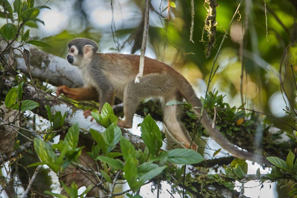 Squirrel monkey.jpg