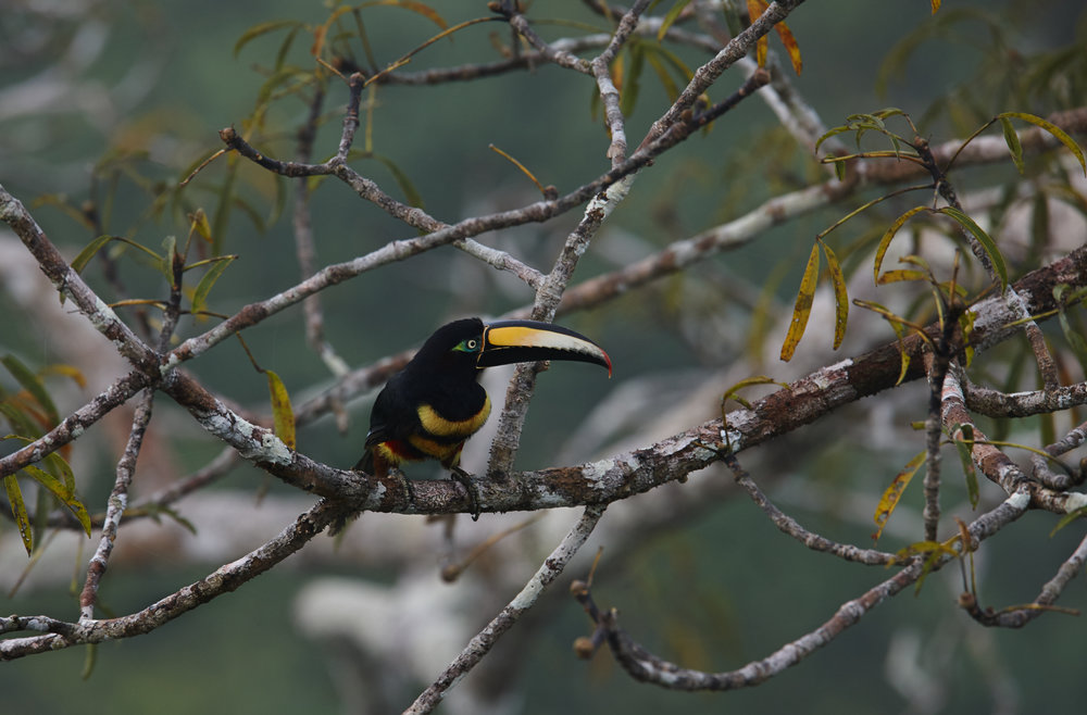 Aracari 1.jpg