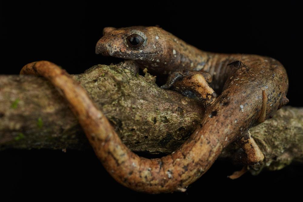 Salamander (Bolitoglossa sp.).jpg