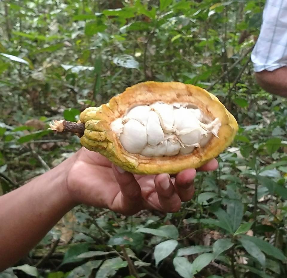 wild cacao.jpg