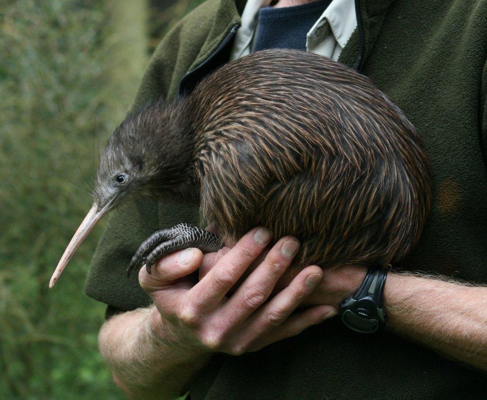 New Zealander's name-sake - the native kiwi bird.