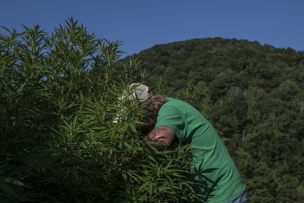 Neal Spears, a musician and hemp grower interested in the properties of CBD oil, takes samples of his crop for THC testing, nearby Meta, in Pike County, Kentucky, on July 29, 2018. Spears is hoping to expand to growing marijuana once it is legalized in the state of Kentucky.