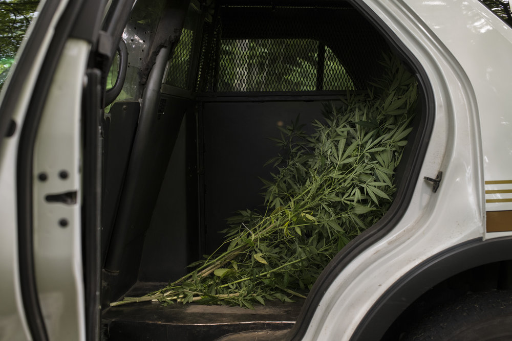 Marijuana plants that had been seized from a local resident sit in the back of the Martin County Sheriff's patrol car nearby Inez, Martin County, Kentucky, on July 27, 2018. 13 plants were seized after an anonymous tip alerted police to their presence on the owner's back porch.