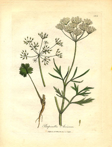 Apiaceae_Pimpinella_anisum.jpg