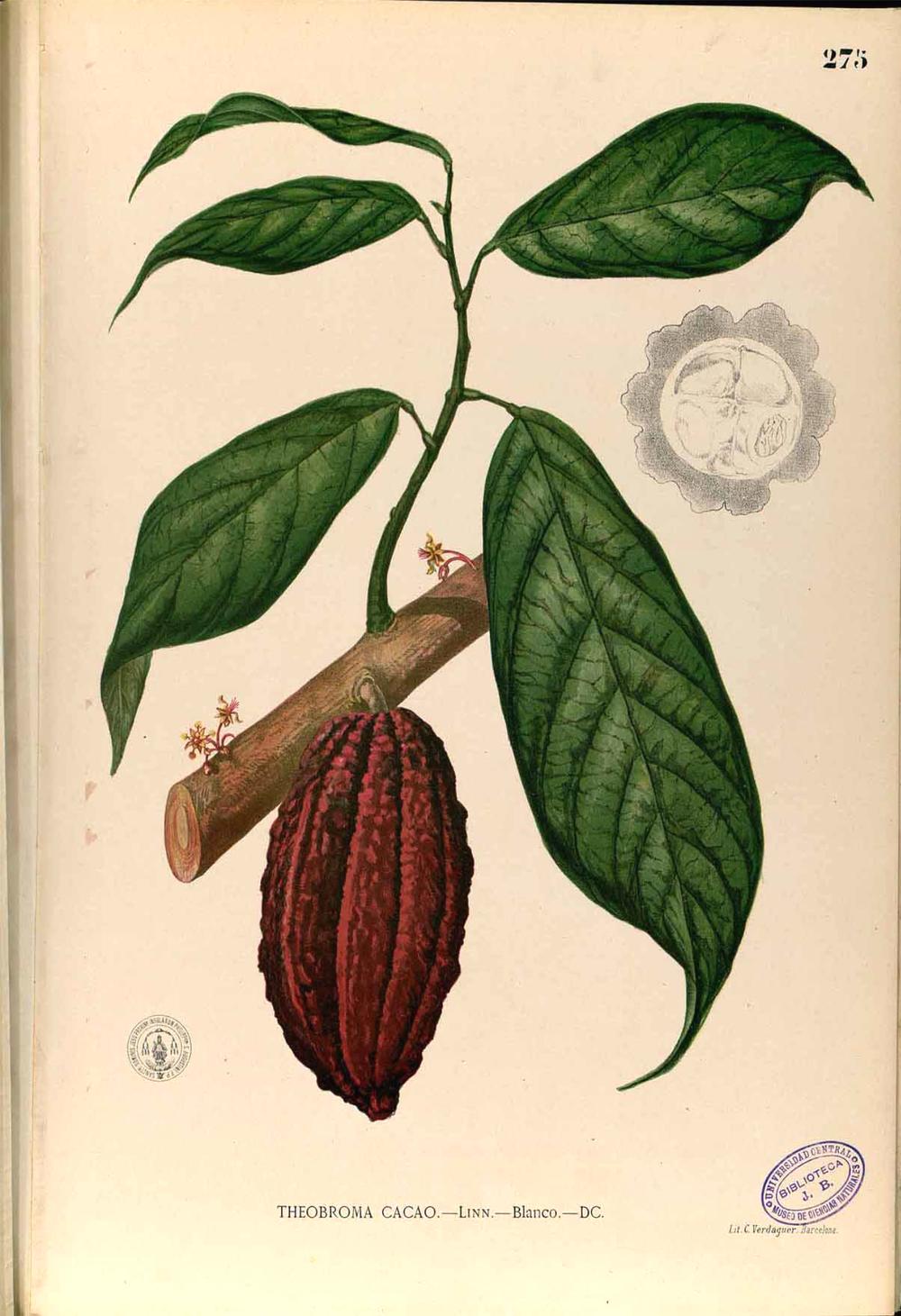 Cocoa Plant Illustration