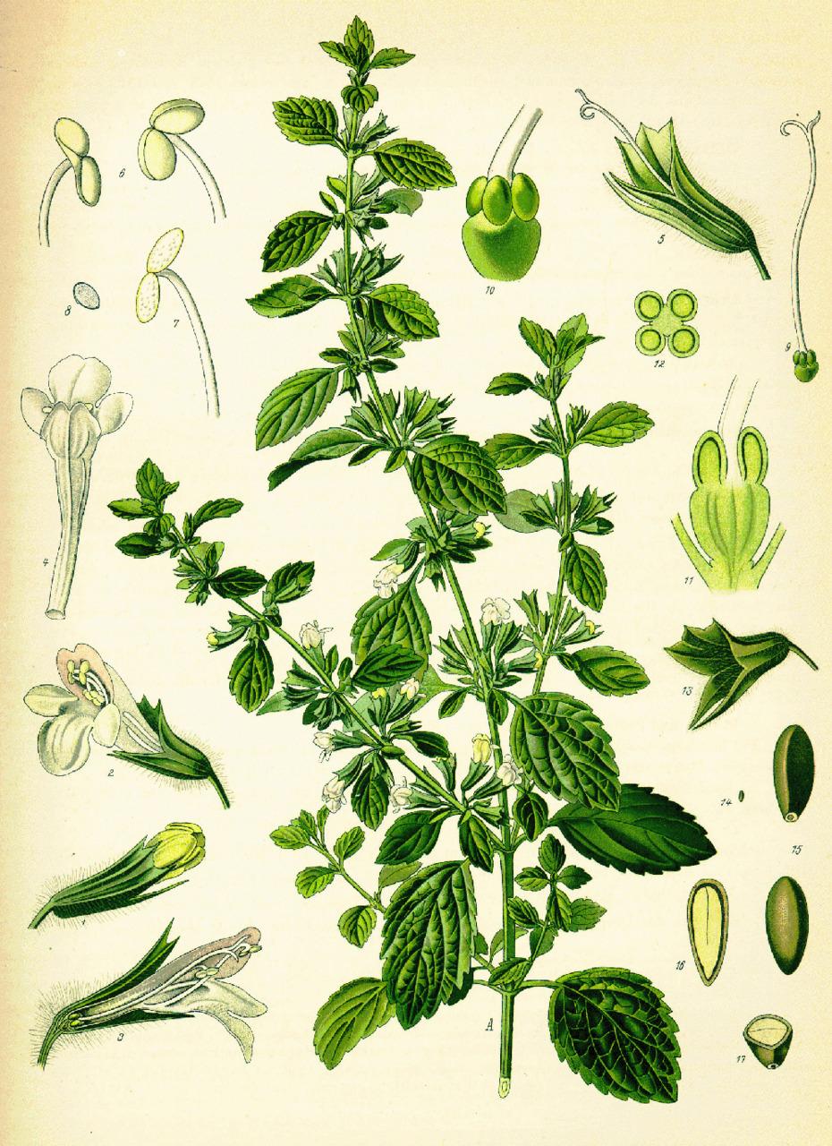 Lemon Balm Illustration