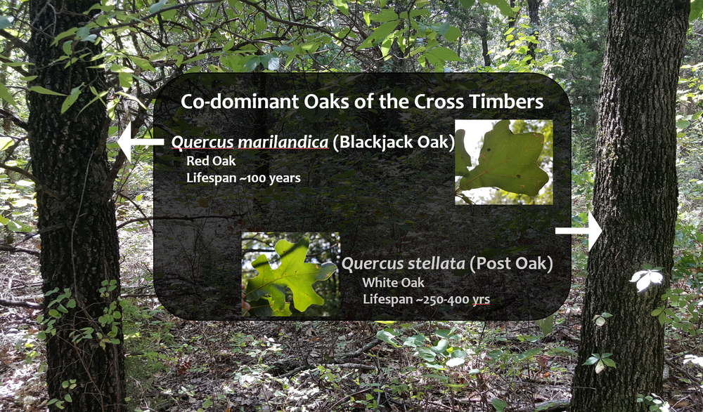 Codominant oaks of the Cross Timbers:  Blackjack Oak (left), and Post Oak (right)