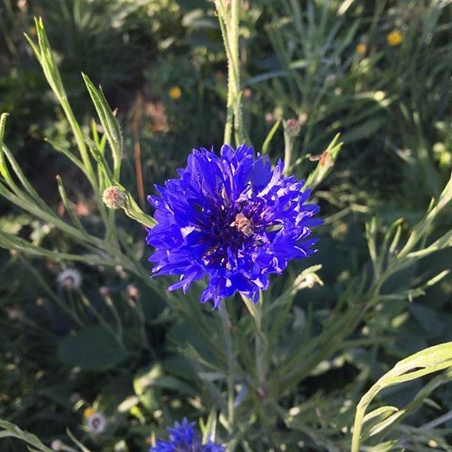 I've really been admiring the color of the cornflowers this year. They are striking! Looking forward to experimenting with their dried petals this winter when all seems bare and cold. . . . . #cornflowers #bachelorsbutton #royalblue  #edibleflowers #flowermedicine