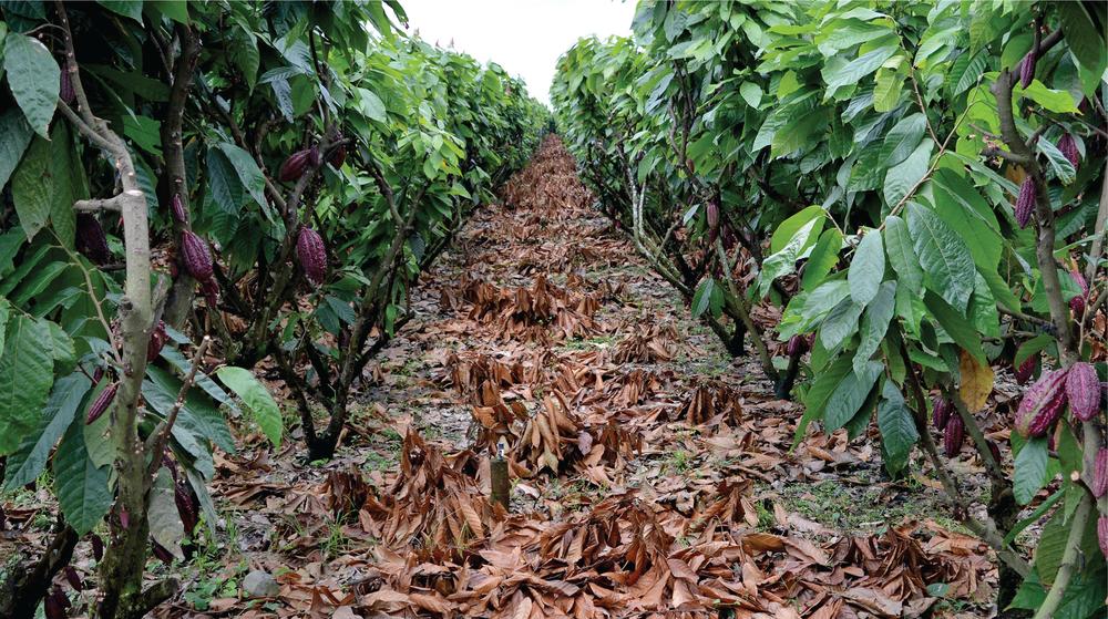 Hacienda San Jose cacao tree plantation image