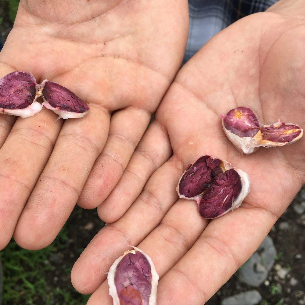 Hacienda San Jose trinitario cacao beans split in Jose Maria's hand